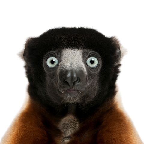 crowned sifaka - Propithecus coronatus (14 years old)