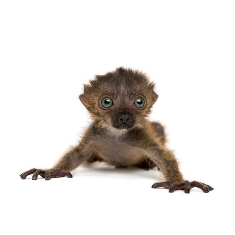 Baby Blue-eyed Black Lemur, isolated on white (20 days old)