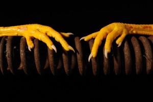 Photographie horizontale couleur prise en studio. Il s'agit d'une vue frontale sur deux pattes jaunes de poulet posées sur un gros ressort rouillé.